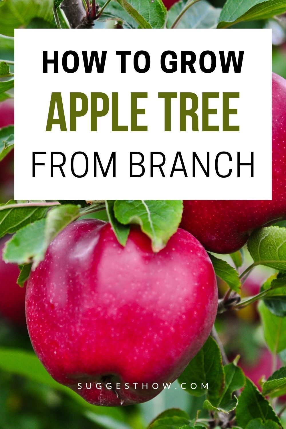 How To Grow An Apple Tree From A Branch Apple Tree Apple Tree From Seed Growing Tree