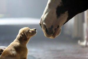 Budweiser no Super Bowl XLVIII: labradores e cavalos. - http://marketinggoogle.com.br/2014/01/31/budweiser-no-super-bowl-xlviii-labradores-e-cavalos/