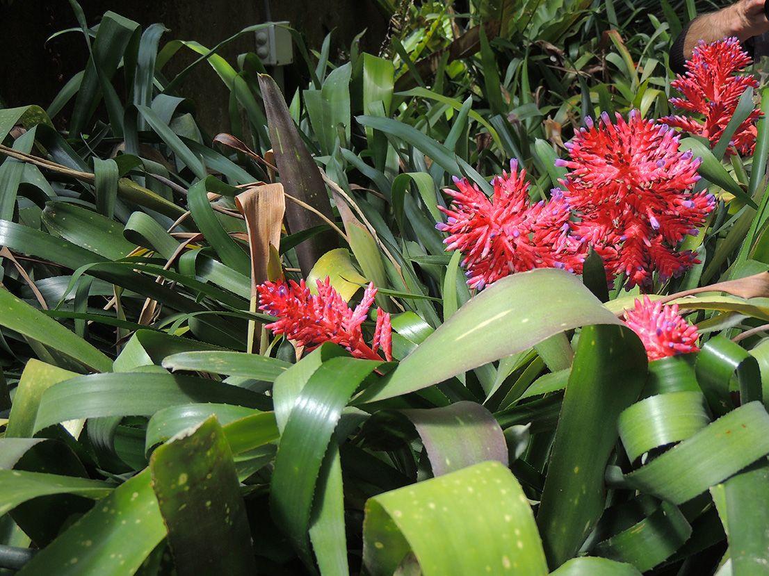 Vriesea. http://www.elhogarnatural.com/bromeliaceas.htm