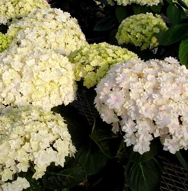 Peace Hydrangea Double White Mophead Is Ever Blooming Spring Through First Frost 3 4 Tall
