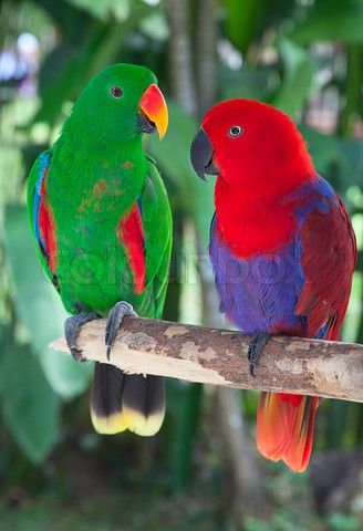 Adult eclectus male green female red Spectacular - one of my