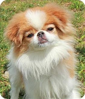 Japanese Chin Mix Dog For Adoption In Columbus Ohio Cookie