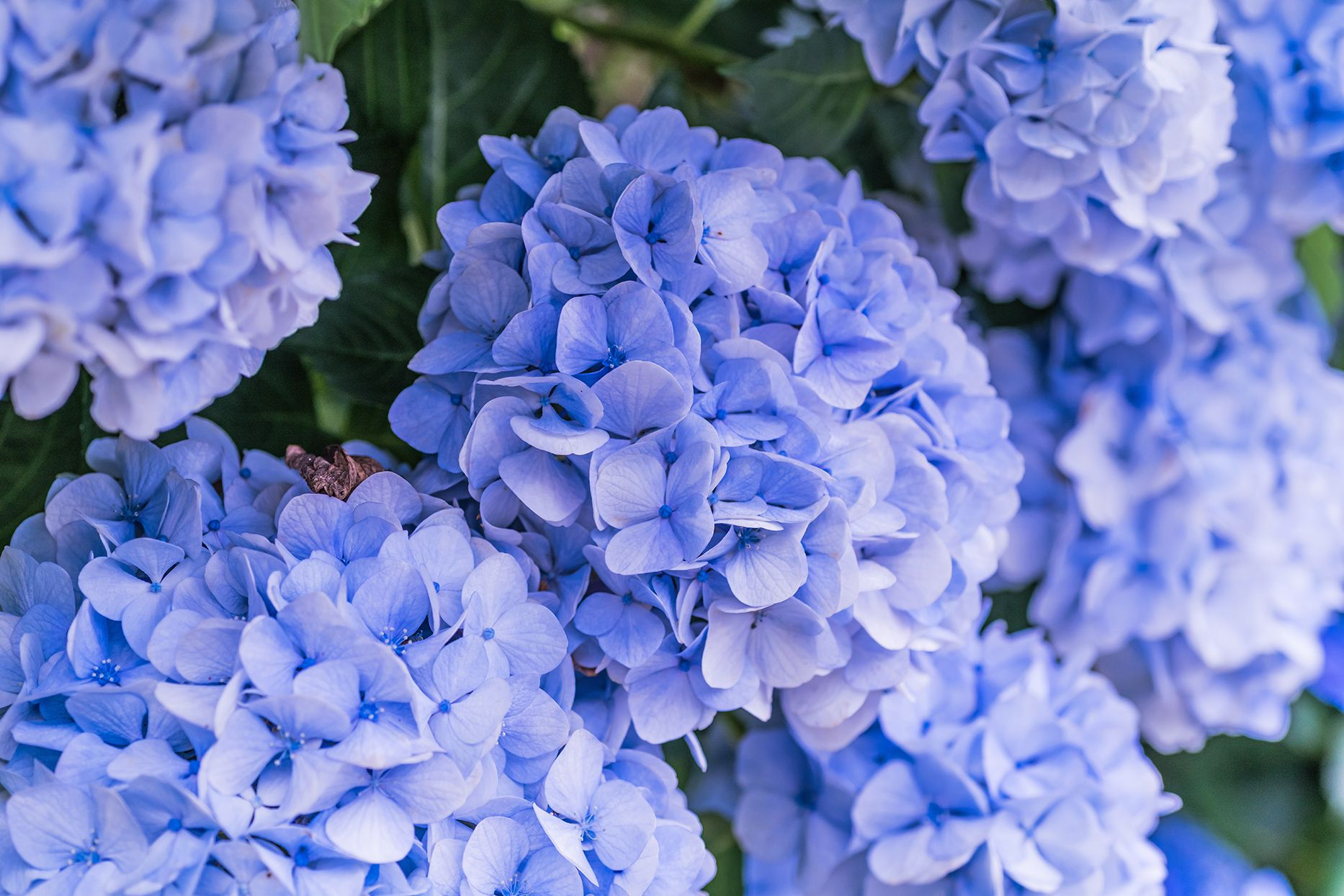 How To Change The Color Of Your Hydrangeas Hydrangea Colors Hydrangea Big Leaf Hydrangea