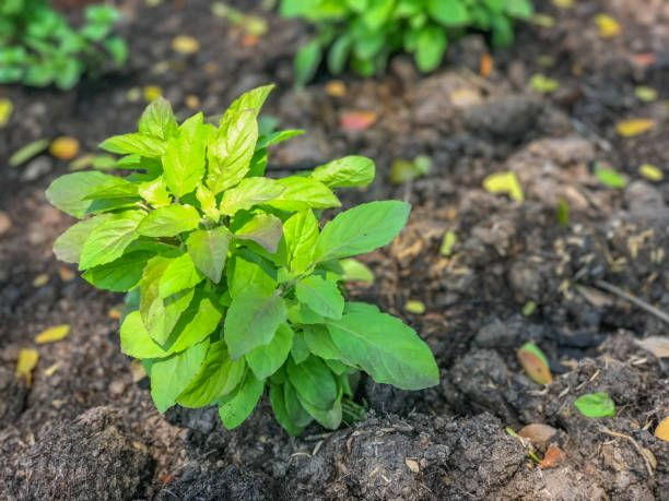 basil sprout in pot