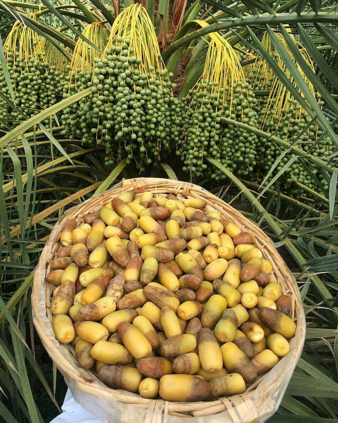 Pin by Masoud Al Nuamani on Oman in 2019 | Fruit, Exotic