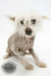 Petfinder Adoptable Dog | Chinese Crested Dog | Saint Louis Park, MN | Joni Mitchell