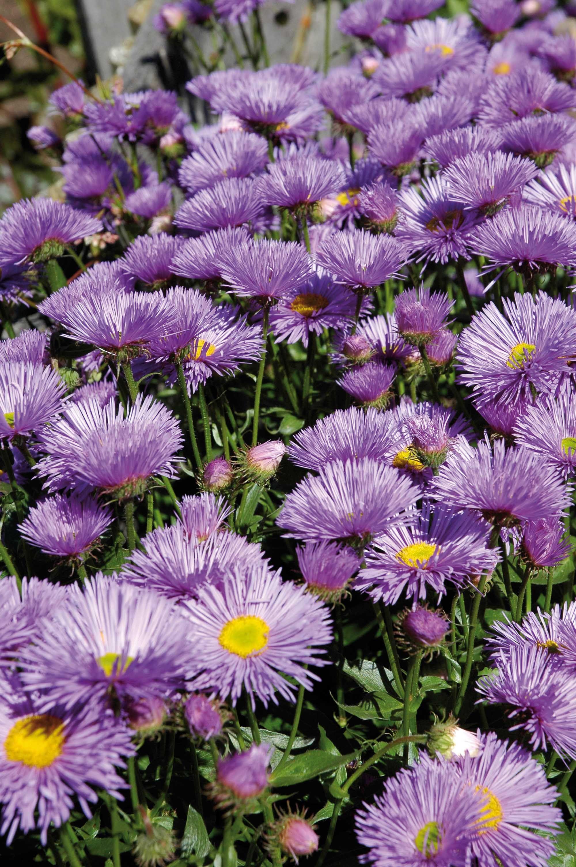 Fiori Di Colore Lilla.Aster Plants Garden Aster