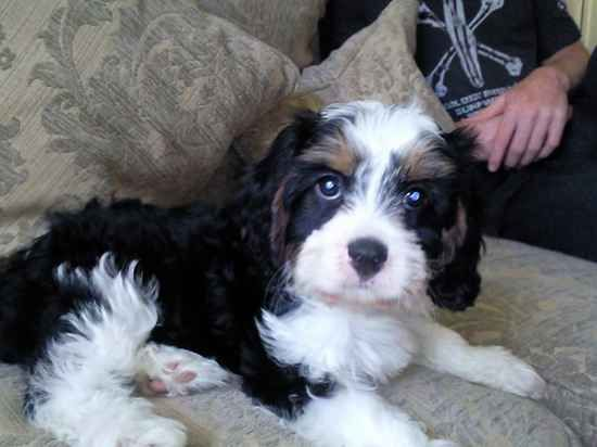 Cav A Tese Cavalier King Charles Spaniel Mixed With Maltese Puppies Dog Pictures Dog Lovers