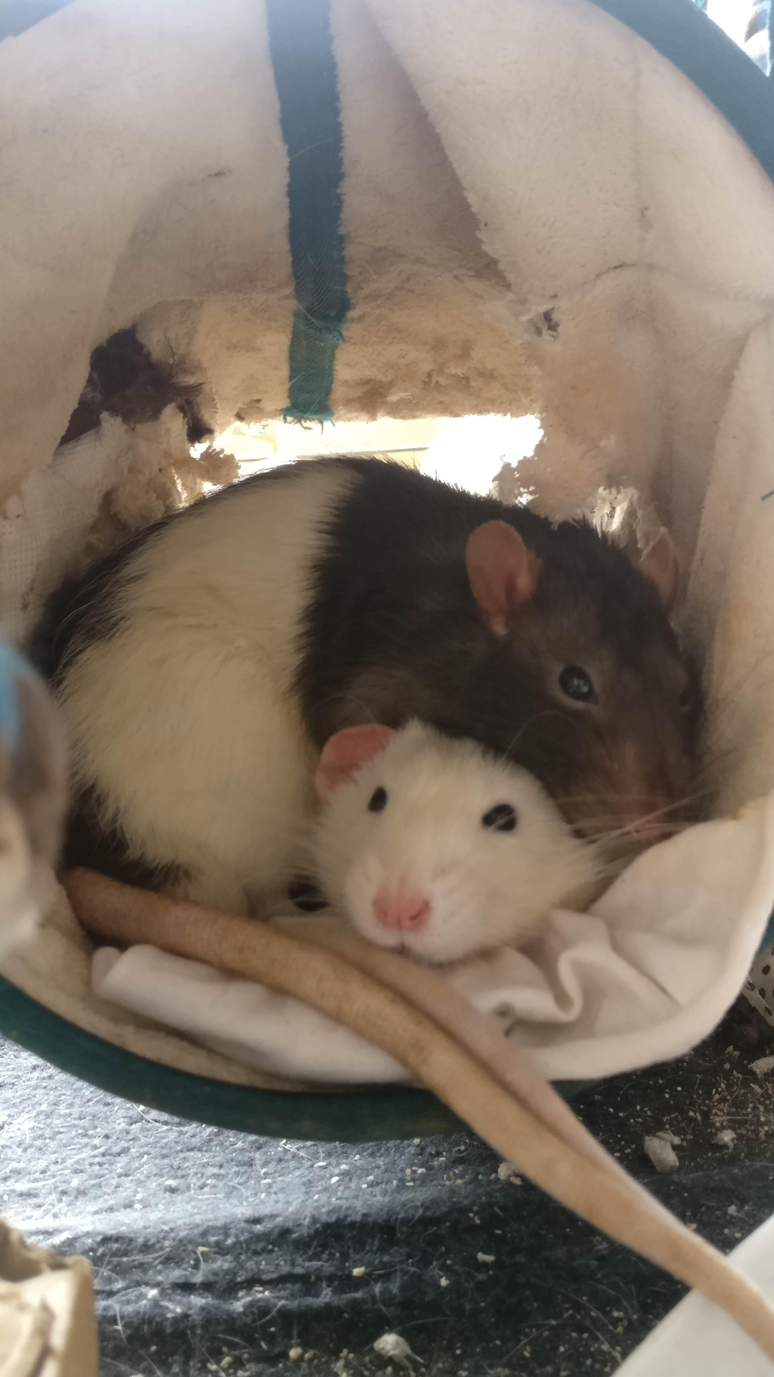 Two Little Cuddle Buds Aww Cute Rat Cuterats Ratsofpinterest Cuddle Fluffy Animals Pets Bestfriend Ittssofluff Super Cute Animals Pet Rats Cute Rats