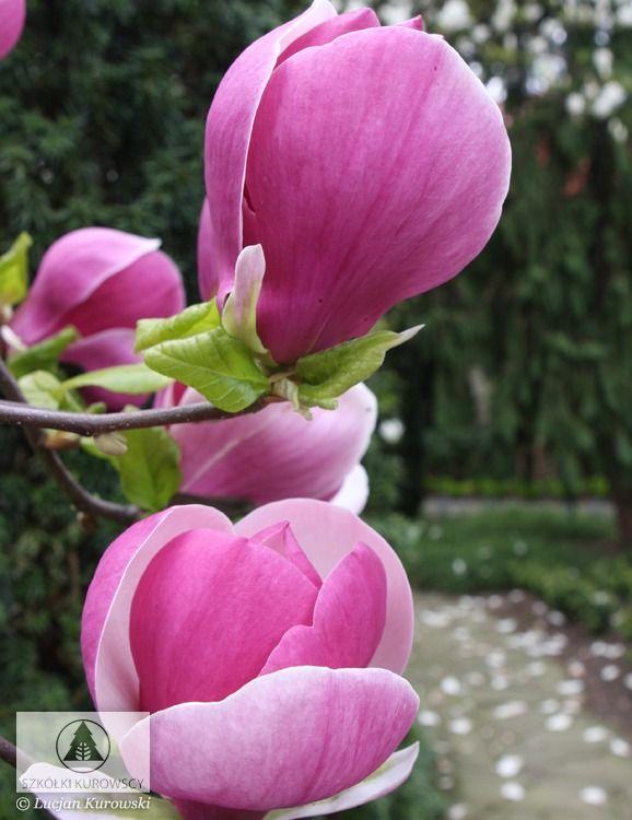 Magnolia X Soulangeana Lennei Magnolia Soulangea Lennei