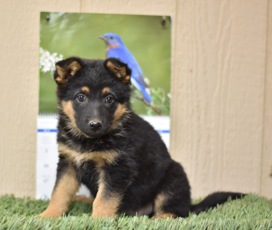 Puppies For Sale In 2020 Dog Breeder Puppies Lancaster Puppies
