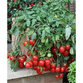 New For 2013 Cherry Falls Tomato By Bonnie Plants 400 x 300