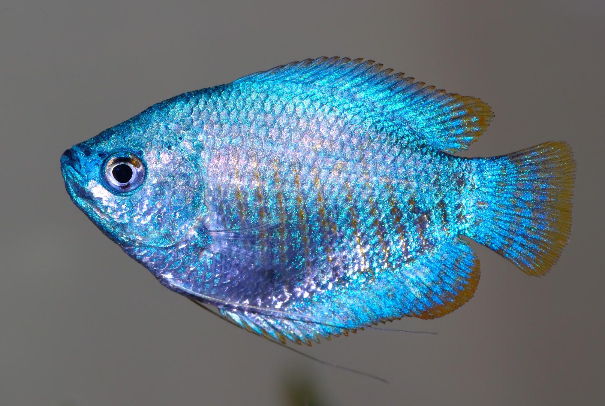 Colisa Lalia Ikan Hiasan