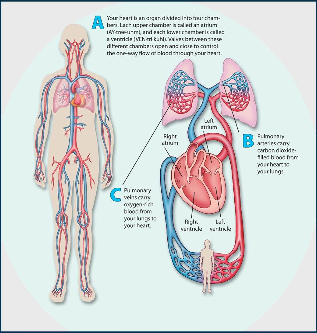 Coach Schriver » CIRCULATORY SYSTEM 11/ | Poster of Circulatory ...