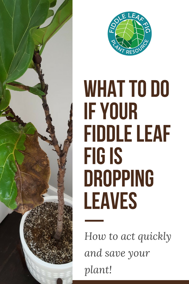 One Of The First And Most Common Signs Of Trouble In A Fiddle Leaf Fig Tree Is Dropping Leaves Ficus Fiddle Leaf Fig Care Fiddle Leaf Fig Fiddle Leaf Fig Tree