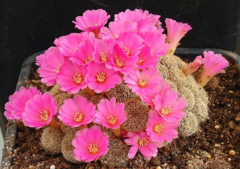 Weingartia mentosa subsp mentosa albissima bruchii