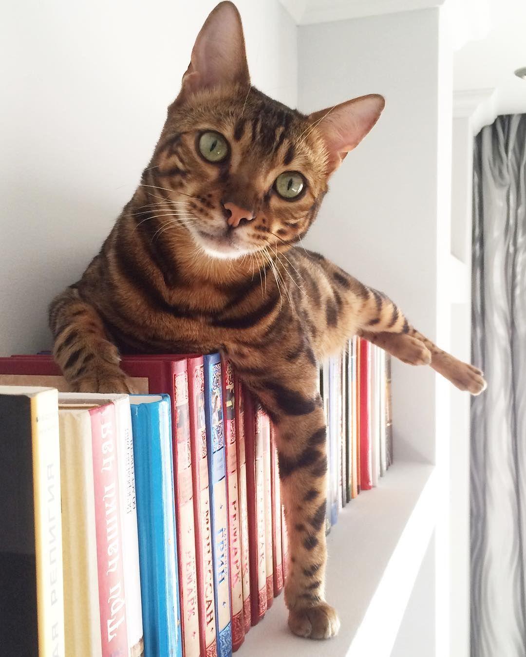 Bengal cat Bengal cat katten
