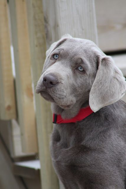 Our Beautiful Labrador Retriever Labrador Retriever Silver Lab Puppies Lab Puppies