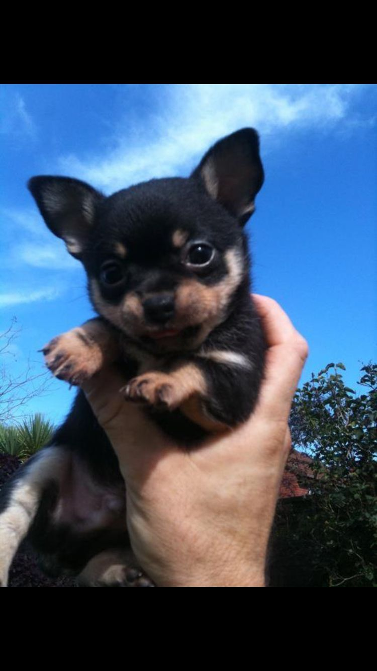 This Is Arlow Out Cute Chihuahua Puppy He S A Smooth Coat