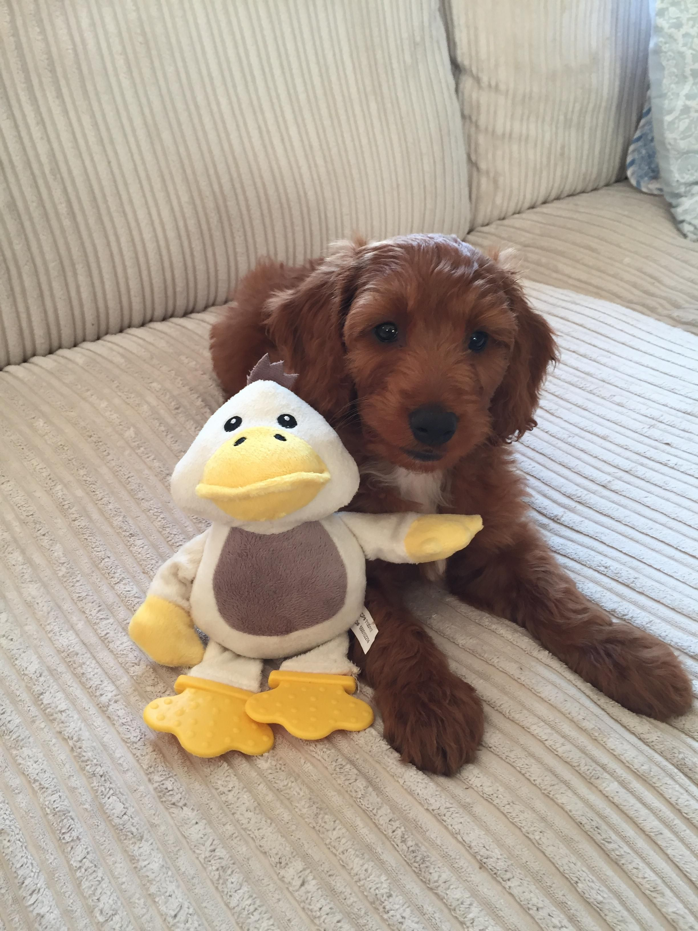 My little Cockapoo at just over 8 weeks can