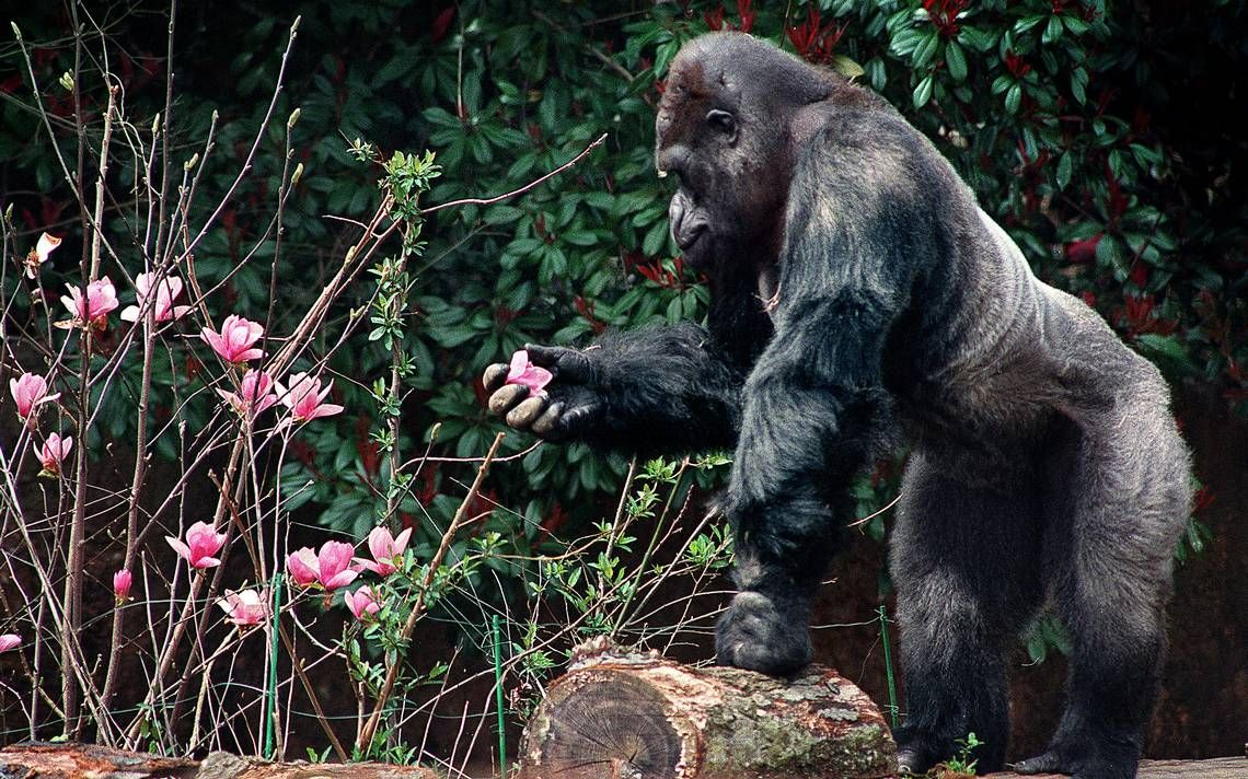 Ivan the gorilla will return to in statue form