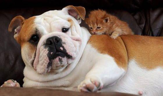 Omg Cute Adorable Baby Animals Kitten Cuddle Bulldog Kittens