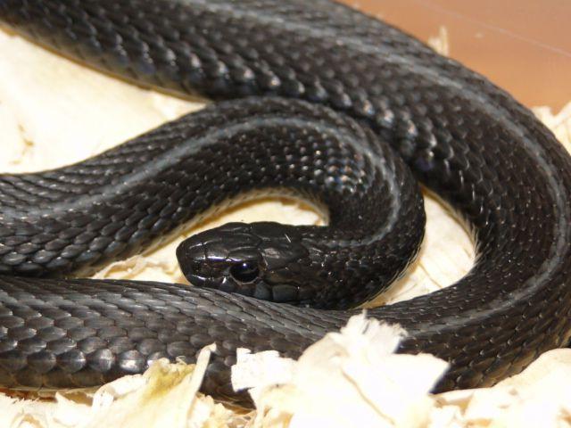 131123095418 Dsc04821 Snake Melanistic Snake Lovers