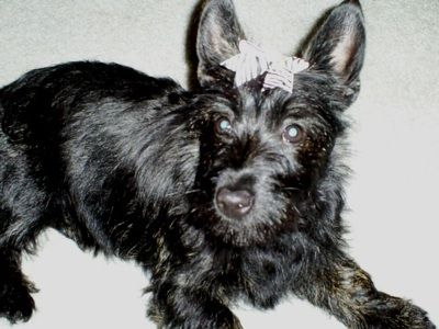 Clover The Bushland Terrier Puppy At 5 Months Old Cairn Terrier