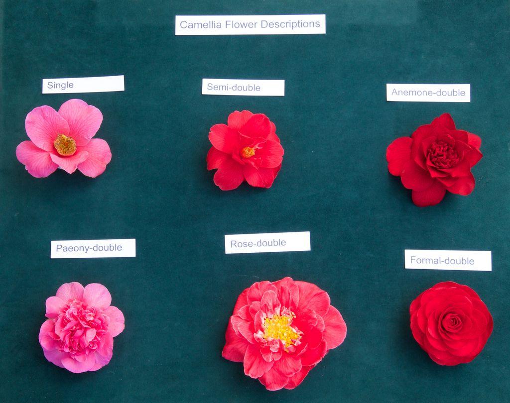 Camellia Flower Descriptions Camellia Flower Flowers Camellia