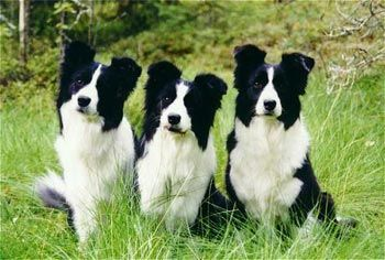 A Trio Of Border Collies Collie Puppies Border Collie Puppies Border Collie