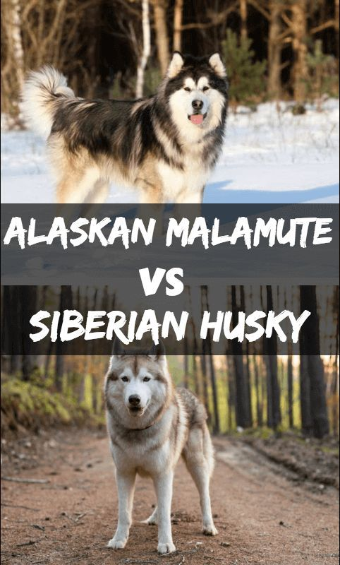 Alaskan Malamute Vs Siberian Husky What S The Difference German