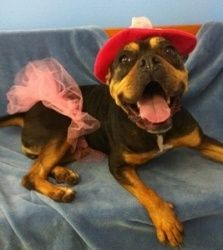 Henrietta Is An Adoptable French Bulldog Dog In Prince Frederick