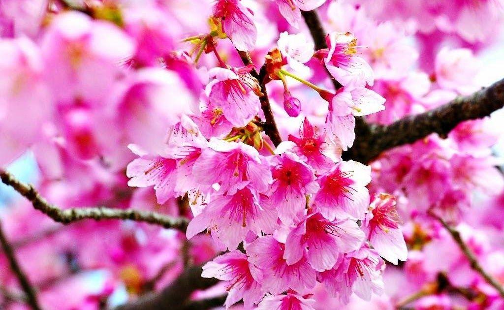 Wallpaper Gambar Bunga Mawar Wallpaper Foto Dan Gambar Bunga Cantik Untuk Laptop Bunga 50 Gambar Bunga Mawar Tercantik Di Di 2020 Bunga Sakura Wallpaper Bunga Bunga