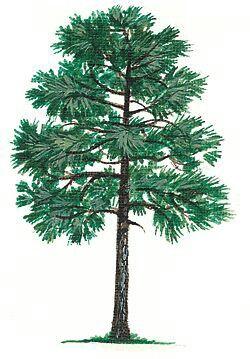 long leaf pine alabama state tree the united states of america