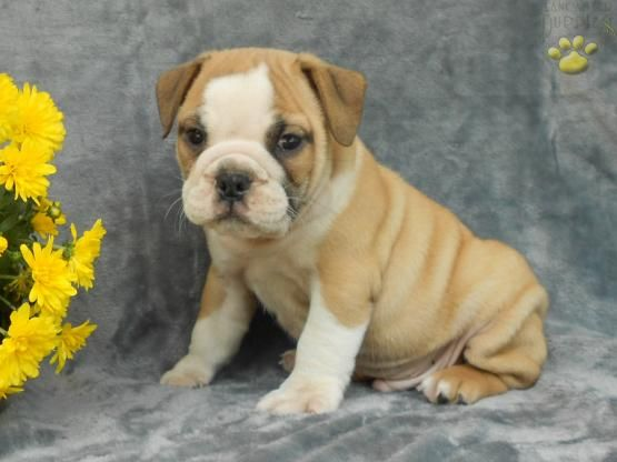 Brutas Mini Bulldog Puppy For Sale In Millersburg Oh Buckeye