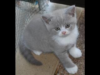Lilac Bi Colour British Shorthair Kitten British Shorthair