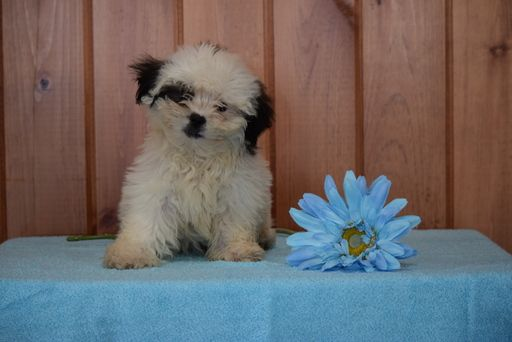 Shinese Puppy For Sale In Fredericksburg Oh Adn 49229 On Puppyfinder Com Gender Male Age 12 Weeks Old Puppies For Sale Puppies Fredericksburg