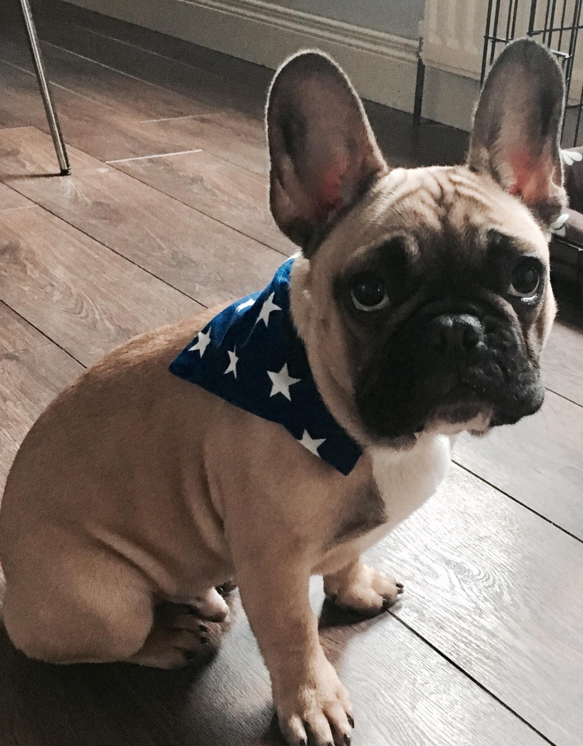 Bandana frenchie louie httpifttt2lpww1z puppy