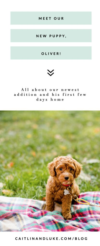 Meet Oliver Our Cockapoo Puppy Cockapoo Puppies Cockapoo Puppies
