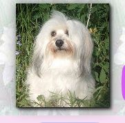 Wildflower Havanese Havanese Havanese Breeders Dogs For Sale
