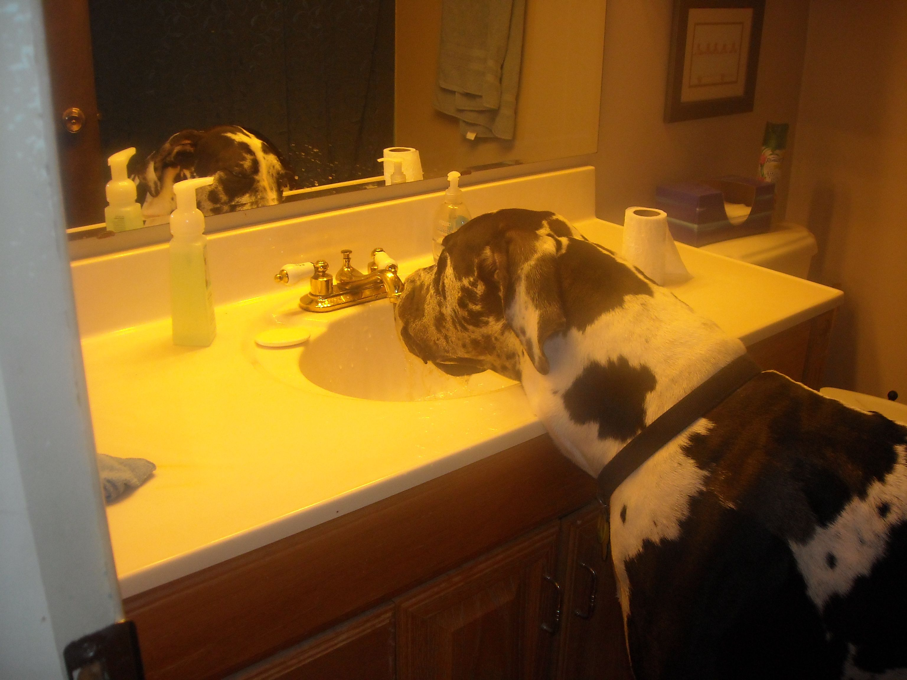 Haha My Bella S Not Quite Tall Enough To Reach Great Dane