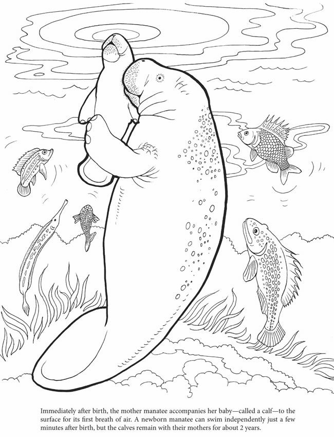 manatee mom and baby print and color page