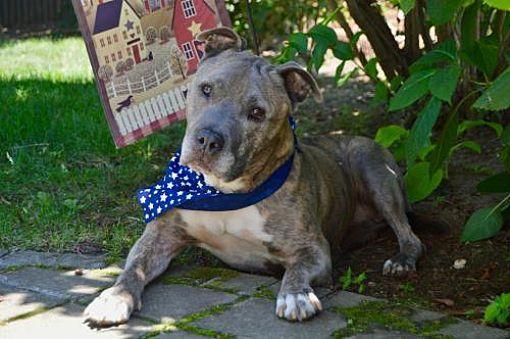 Williston Vt American Staffordshire Terrier Meet Atticus Aka
