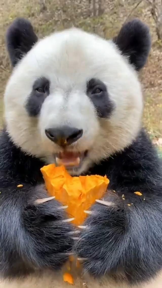 Panda eating a snack!