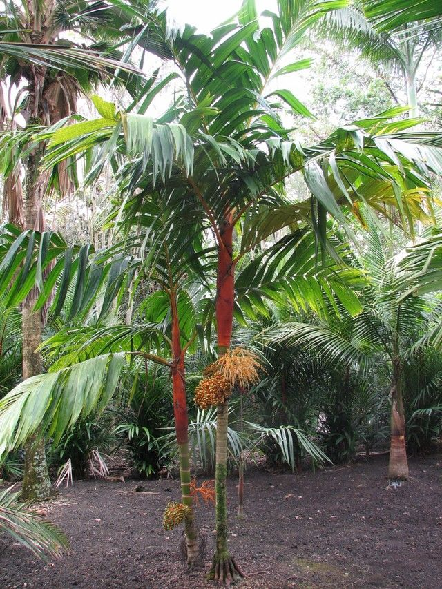 Orange crownshaft palm tree areca vestaria palm trees for Pictures of areca palm plants