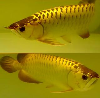 Arwana Crosback Ikan Akuarium Ikan Ikan Air Tawar