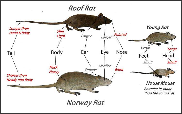 Roof Rats Get Rid Of Roof Rats Roof Rats Norway Rat Rodent Repellent