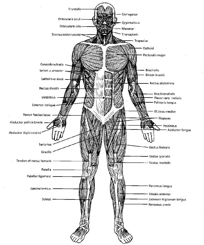 Black And White Muscular System Diagram Label Muscles ... | Muscular ...