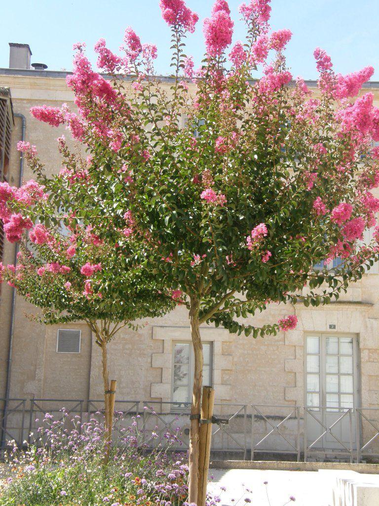 Petit arbre pour pot quelques esp ces lilas des indes - Le lilas des indes ...