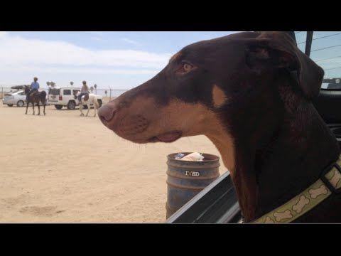 Doberman Dog And Horse Are Best Friends Youtube Doberman
